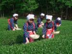 茶摘み - Chatsumi