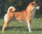 柴犬 - Shiba Inu